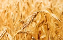 Weizenähren Im Sommerlicht