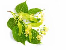 Lindenblüten, Sommerlinde, Tilia Platyphyllos