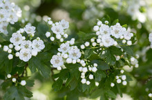 Crataegus Laevigata Hawthorn Tree In Bloom During Springtime, Branches With Green Leaves And Group Of Flowers And Buds Petals