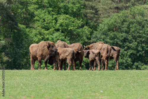 group of european bison, wisent