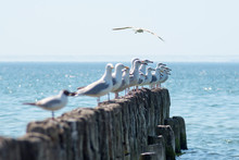 Sea Gulls On Old Breakwater.