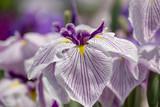 Irises in Horikiri iris garden / Horikiri iris garden is a garden free of admission fee located in Katsushika Ward, Tokyo, Japan