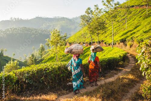 Work in the tea plantations Tableau sur Toile