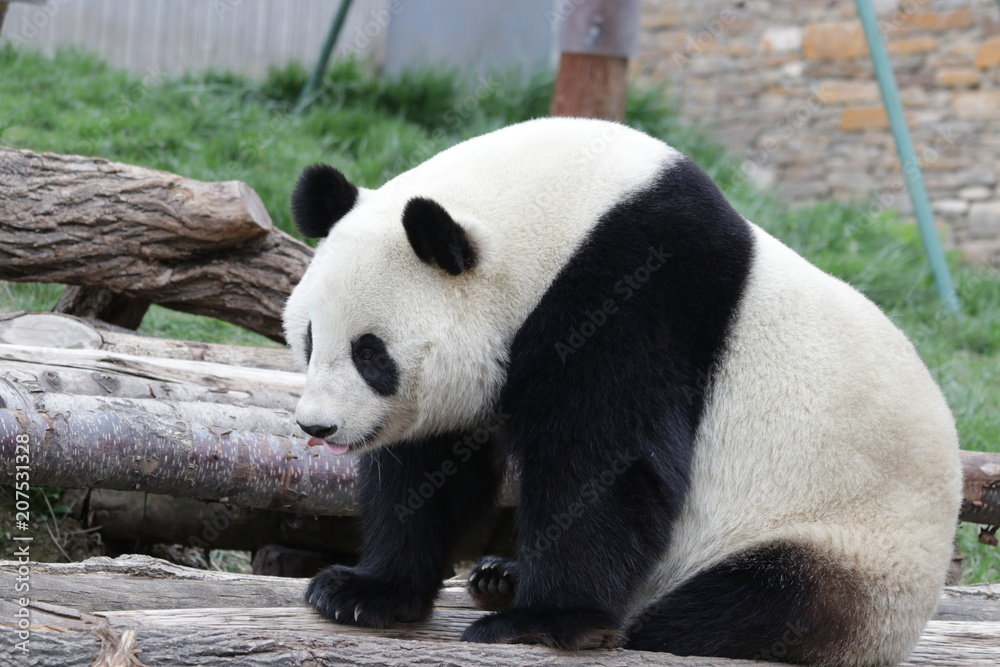 Funny Pose of Giant Panda , Dujiangyan, China