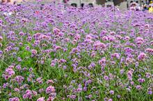 Many Tiny Purple Flower Cluste...