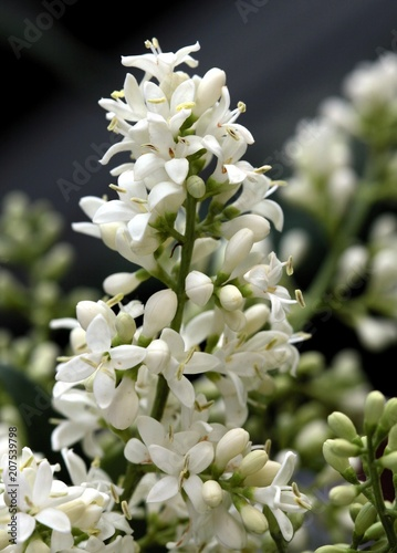 Whitefragrant flowers of privet bush at spring buy this stock whitefragrant flowers of privet bush at spring mightylinksfo