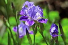 Blue Irises On A Green Background