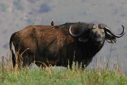 Foto op Plexiglas Buffel Büffel mit Vögeln auf dem Rücken