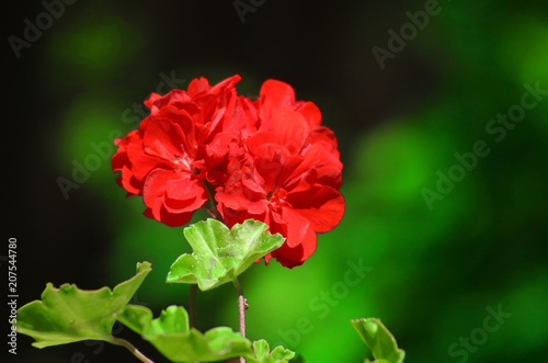 Red geranium close up in the garden with green background