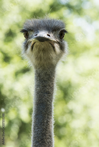 Fotobehang Struisvogel Ostrich (Struthio camelus), looking at the camera