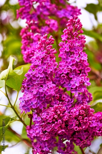 Keuken foto achterwand Lilac Close up view of vibrant juicy lilac flowers in spring
