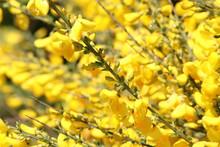 Full Frame Image Of Yellow Flowers On Gorse Bush