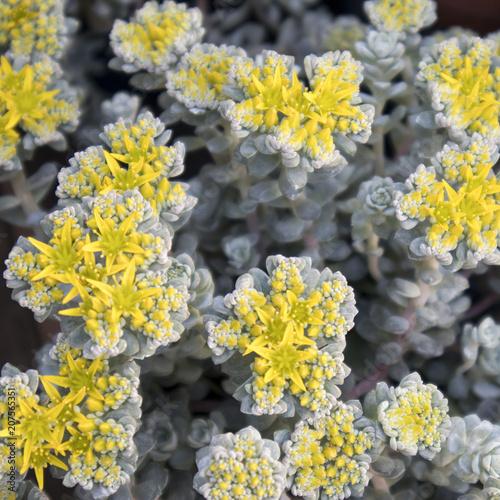 Photo  the Broadleaf Stonecrop - Cape Blanco (sedum spathulifolium),Drumbeg Provincial