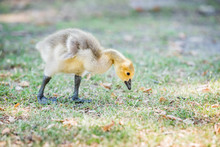 Closeup Of One Baby Gosling Goose Bird Chick On Lawn Grass Eating Plants, Cute Adorable Eyes, Flippers