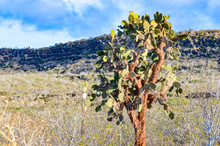 Opuntia Echios, Or Galapagos Prickly Pear Tree, Seen On Isla Santa Fe In The Galapagos Islands.