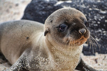 A Galapagos Sea Lion Pup, On Isla Floreana, Galapagos Islands.