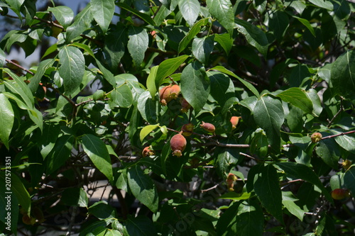 Photo Fruits of Japanese allspice(Wintersweet)