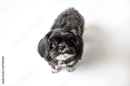 Photo  Adorable miniature shih tzu puppy dog, white and black with short fur