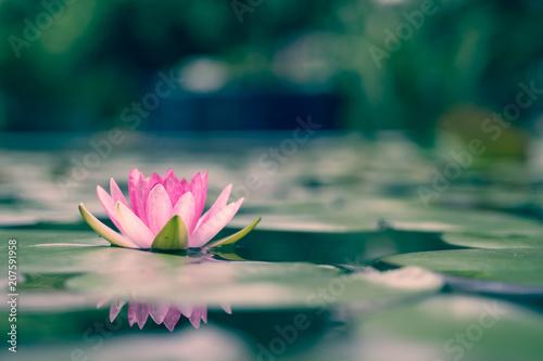 Deurstickers Lotusbloem beautiful lotus flower on the water after rain in garden.