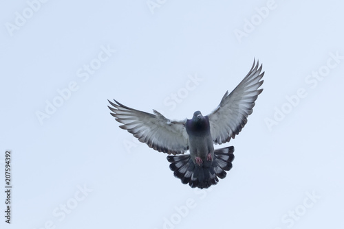 full body of flying homing pigeon against clear white sky
