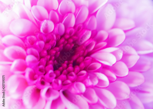 Colorful flowers chrysanthemum made with gradient for background,Abstract,texture,Soft and Blurred style.postcard. - 207595171