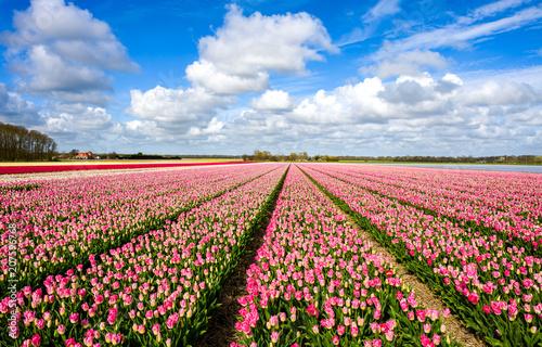 Pink tulip field landscape