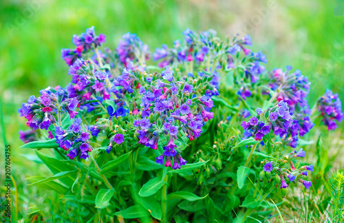 Fotografía closeup detail of meadow flower - wild healing herb - Pulmonaria mollis