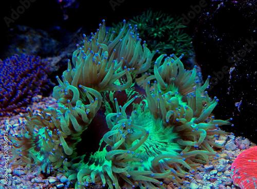 Poster Sous-marin LPS Elegance coral in reef aquarium (Catalaphyllia Jardinei)