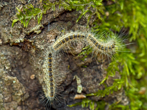 Fotomural Caterpillars of Oak processionary moth,Thaumetopoea processionea, aka OPM,