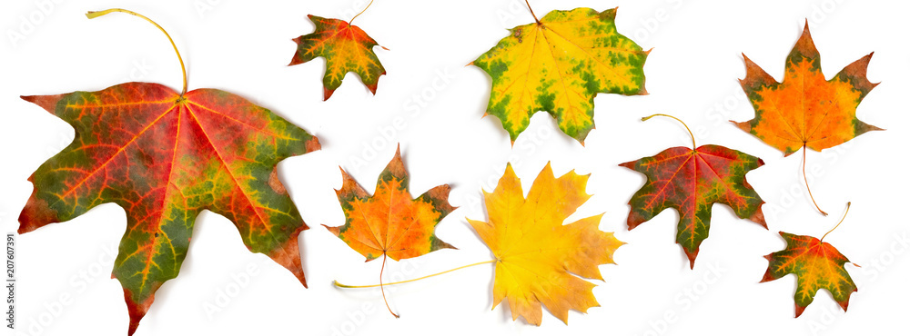 Fototapety, obrazy: banner autumn pattern maple leaf bright on white background