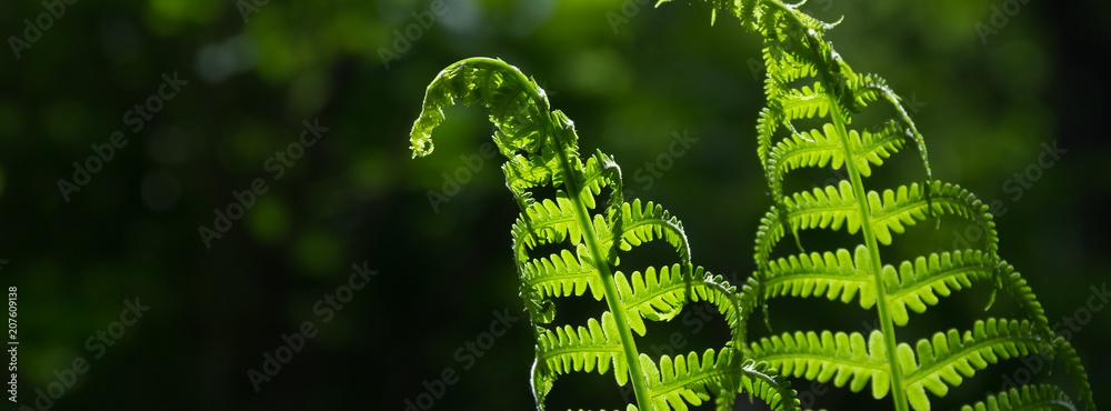 Fototapeta banner spring bright green fern background