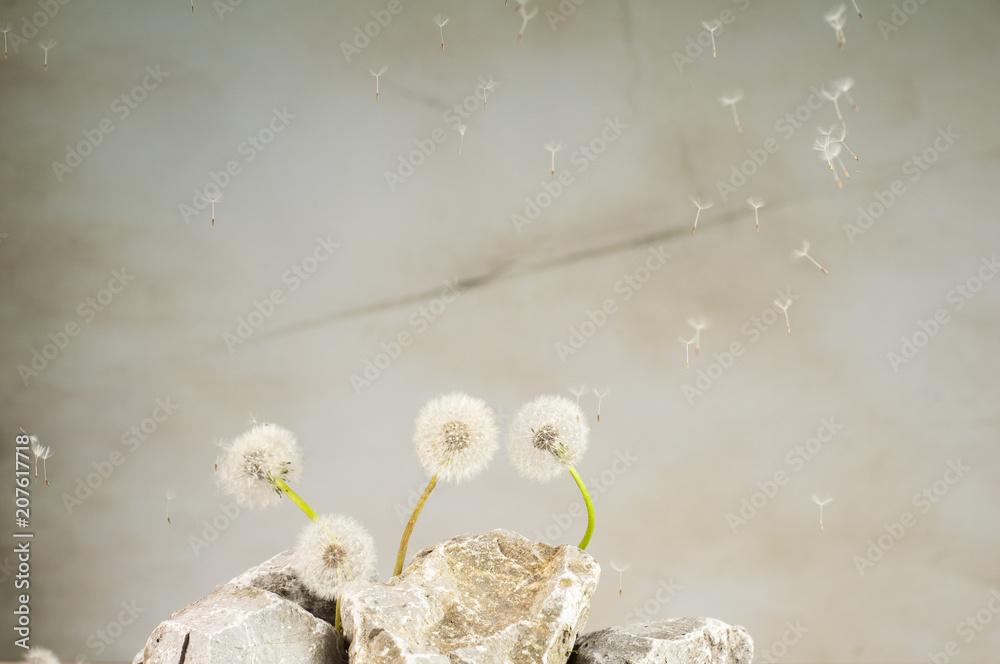 Fototapety, obrazy: dmuchawce na kamieniach