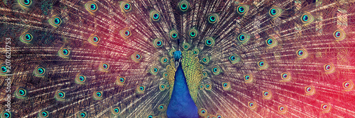 Foto op Canvas Vogel image of beautiful male peacock opening his tail, outdoors.