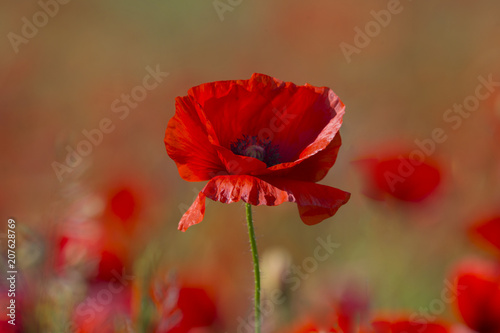 Fototapeta Poppy flower or papaver rhoeas poppy with the light
