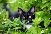 Black White Cat Hunting Among Strawberry In Garden