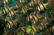 Banggai Cardinalfish, Pterapog...