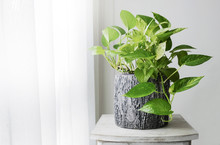 Golden Pothos Or Epipremnum Au...