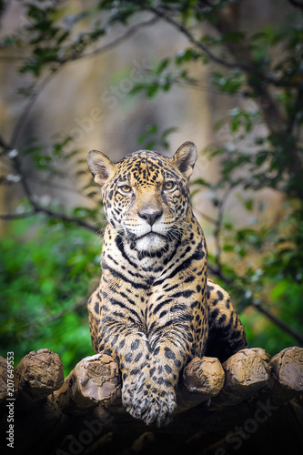 Photo Behavior of Jaguar.