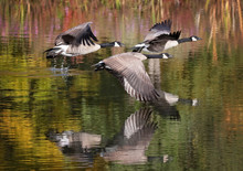 Canada Geese Flying Across A P...