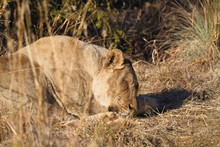 South African Male Lion