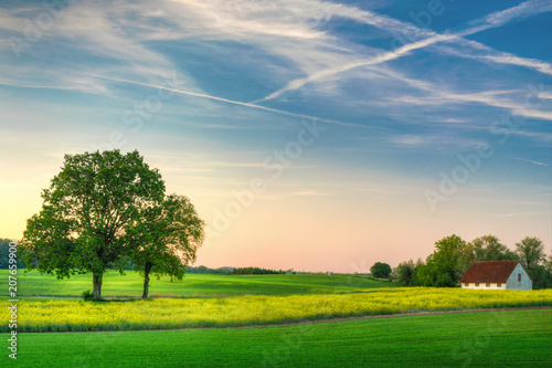 Foto auf AluDibond Grun Spring countryside landscape. Oaks growing on the colza field.