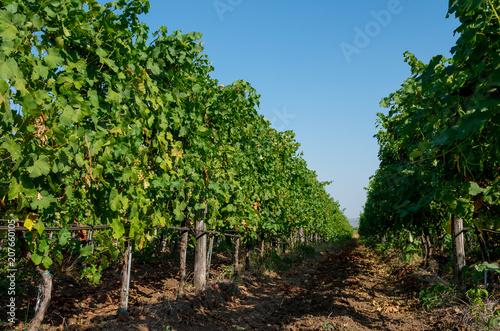 Fotografía  Viticulture. Vineyard plantation of grape bearing vines.