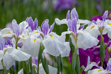 Irises In Horikiri Iris Garden...