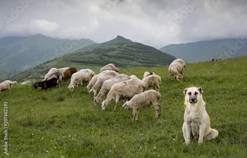sheep in rural Armenia