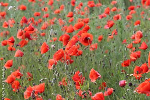 Fototapeta Red Poppies / Poppy Field obraz