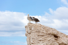 Seagull And Chick On A Rock