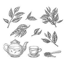 Green Tea Sketch Vector Illust...
