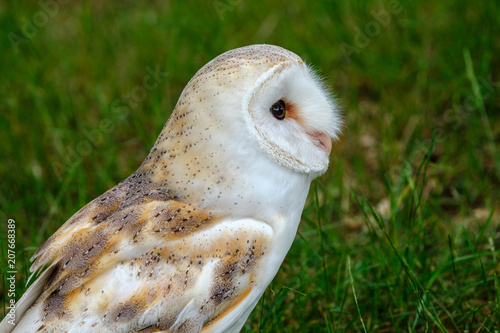 Printed kitchen splashbacks Owl Portrait of a Barn Owl