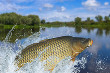 Fishing. Big Carp Fish Jumping...