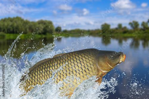 Foto auf AluDibond Fischerei Fishing. Big carp fish jumping with splashing in water